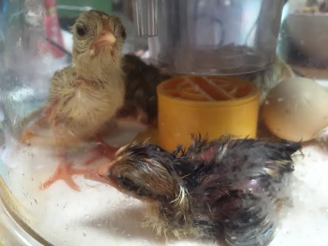 hatch chicks