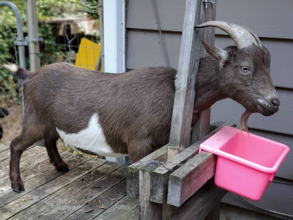 DIY Milking Stand for Goats