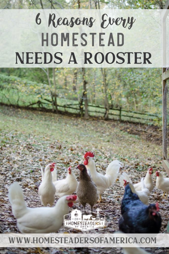 6 Reasons Why Homesteads Need a Rooster
