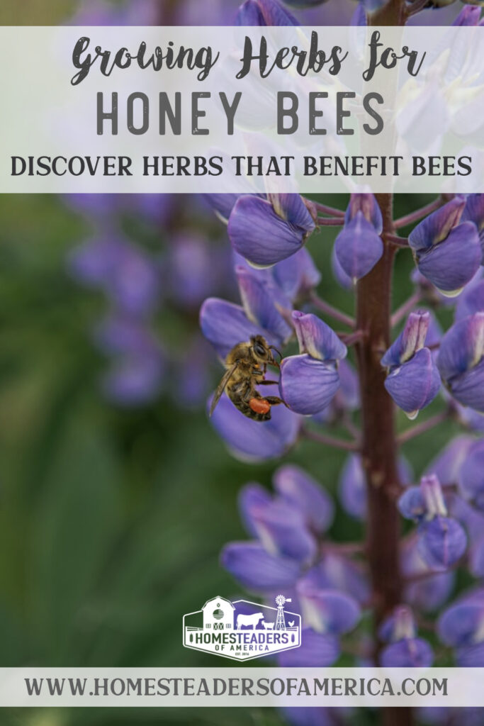 Growing Herbs for Bees on the Homestead
