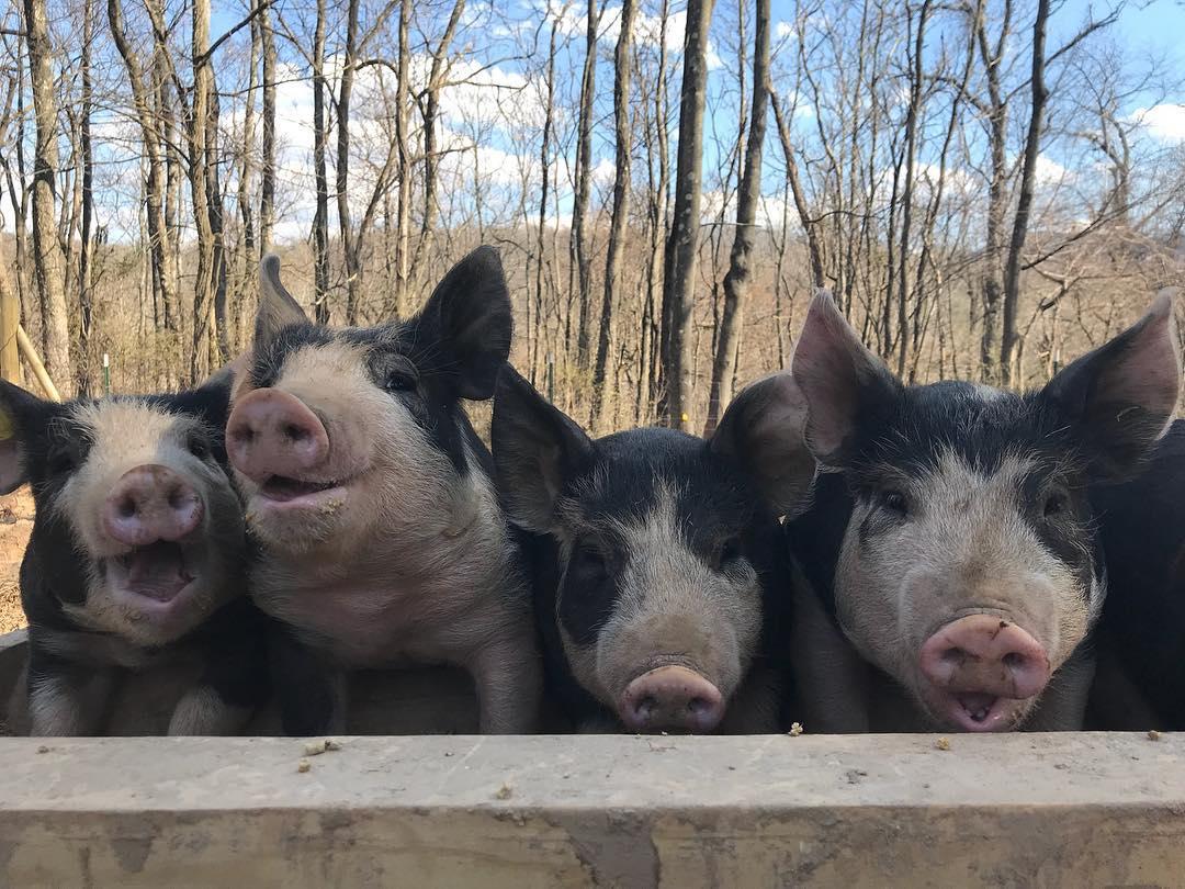 Choosing a Pig Breed on the Homestead: Berkshires