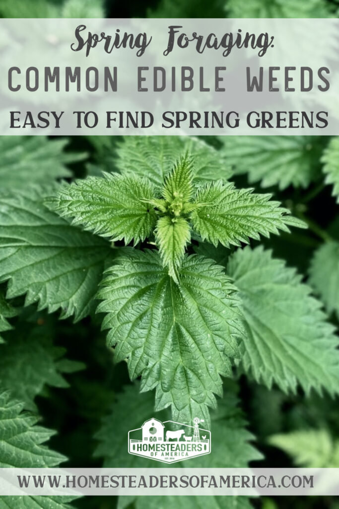 Spring Foraging for Common Edible Weeds