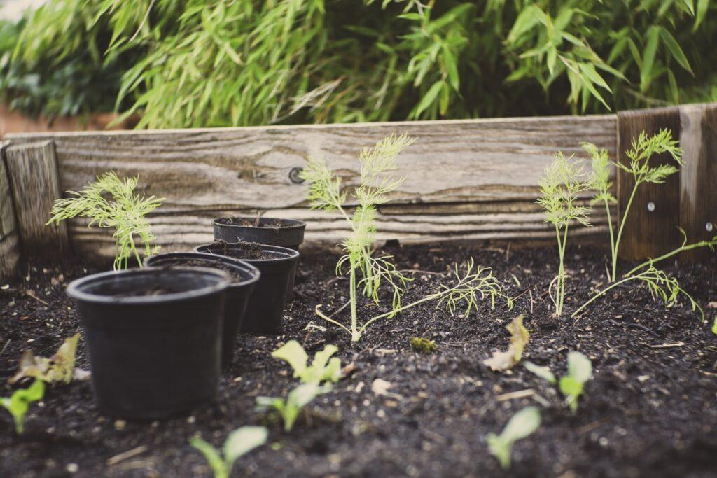 Seedlings in raised bed