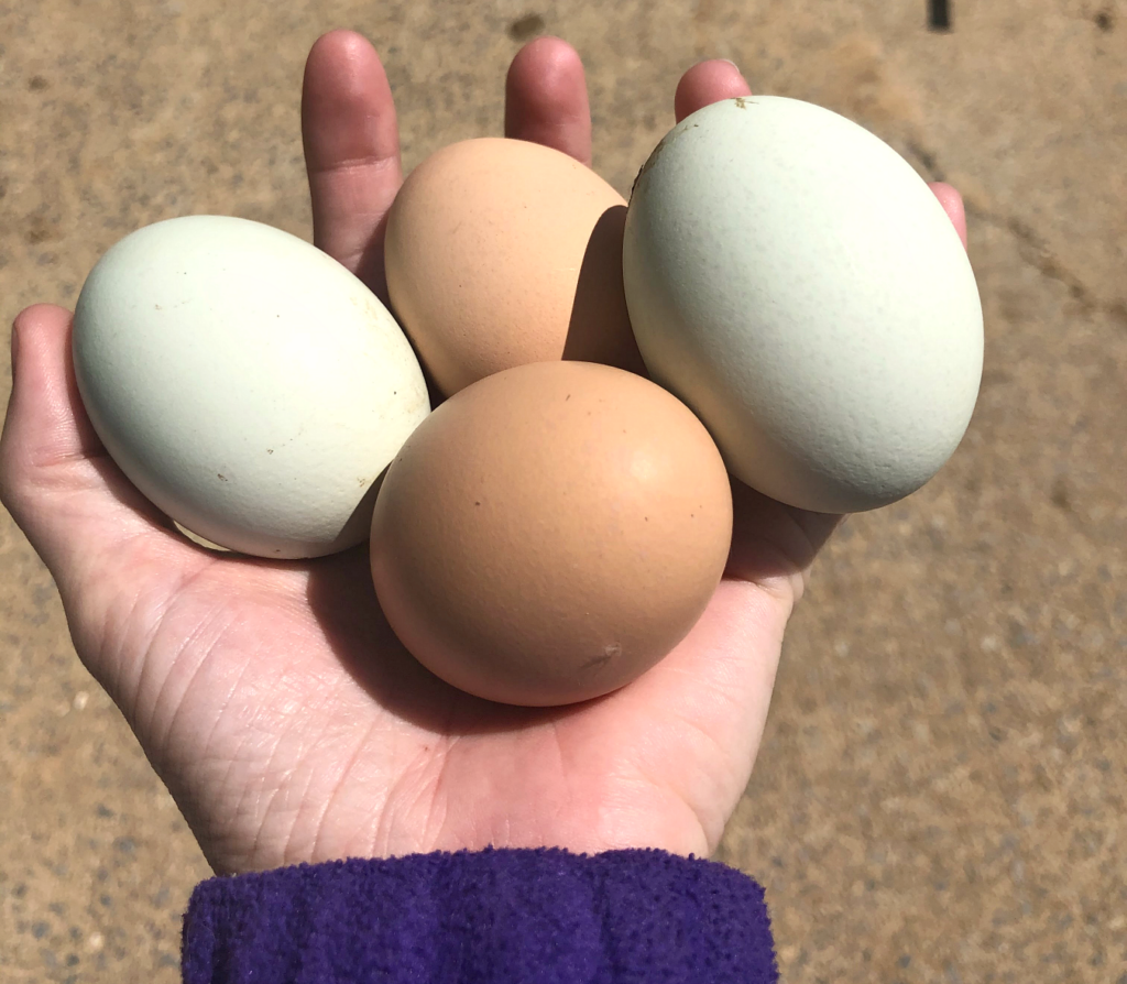 Eggs from Free-Ranging Chickens