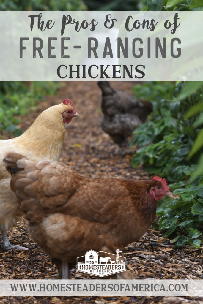 Considering letting your chickens roam? Learn what the pros and cons are of free-ranging chickens in your backyard.   #chickens #backyardchickens #homesteading #selfsufficiency #raisingchickens #pasturedpoultry #freerange