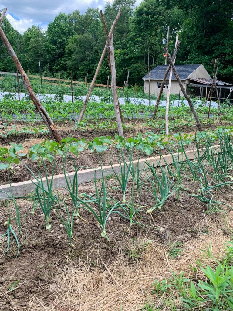 Onions in a garden